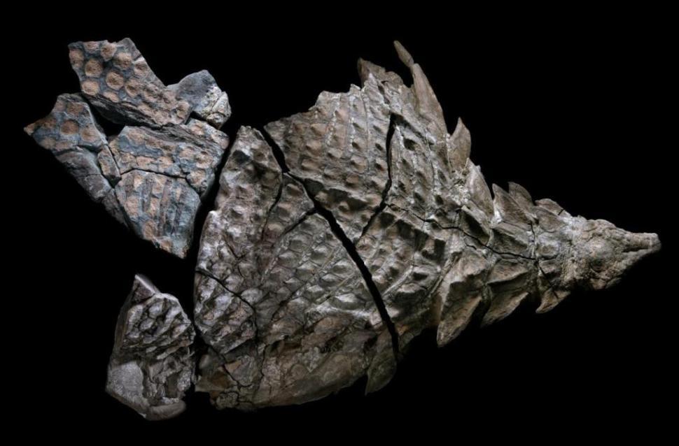 nodosaurus-fosil_1