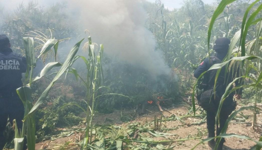 Autoridades federales y estatales destruyeron un plantío de marihuana en el municipio de Santa María Zoquitlán, Oaxaca. (Twitter: @Policia_GobOax)
