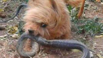 perro muere y salva a su dueña de mordida de cobra