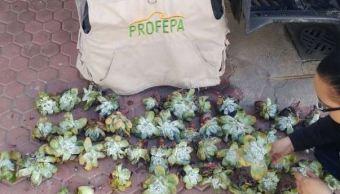 Personal de la Profepa y Sedena aseguraron el producto (Profepa)