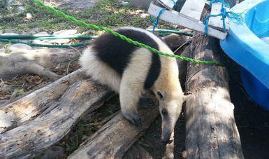 rescatan oso hormiguero en el municipio de Soto La Marina, Tamaulipas