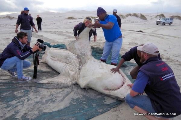 tiburón, tiburón blanco, ataque, orca, ballena asesina