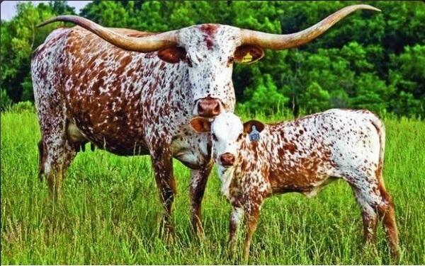 Toro longhorn es introducido en Papantla veracruz
