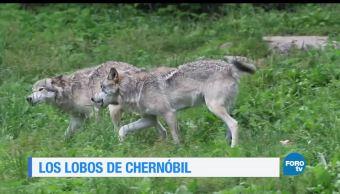 noticias, forotv, historia, lobos, radioactivos, Chernóbil