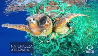 noticias, forotv, Tortuga, atrapada, red de pesca, noticia en una imagen