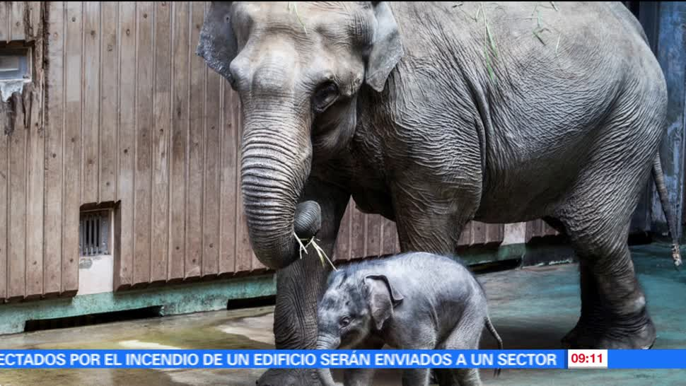zoológico de Moscú, Filimón, elefante asiático, mamá