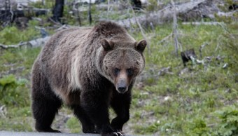 Estados Unidos, especies, amenazadas, oso grizzly, Yellowstone, ecología,