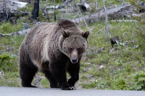 Estados Unidos, especies, amenazadas, oso grizzly, Yellowstone, ecología,