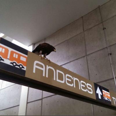 Águila real se posa en la estación nopalera del STC Metro