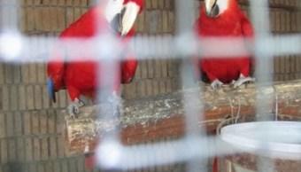 aseguran guacamayas rojas en quintana roo