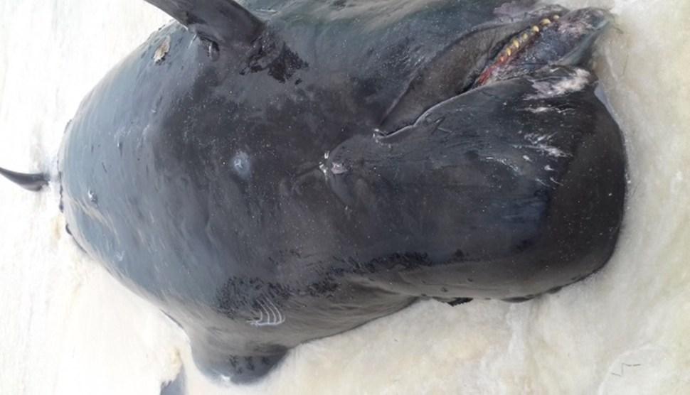 Cuerpo de ballena muerta en playa de Quintana Roo