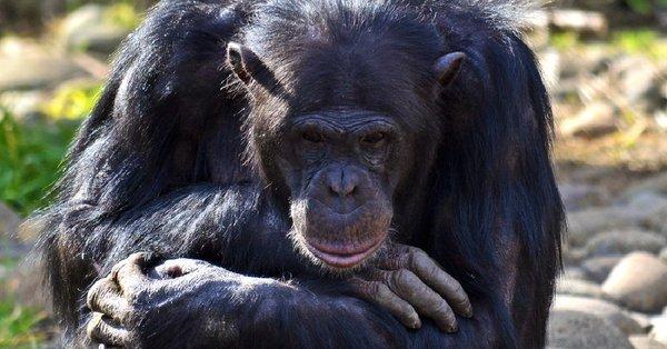 Corte, Nueva York, Chimpancé, humanos, derechos, animales,