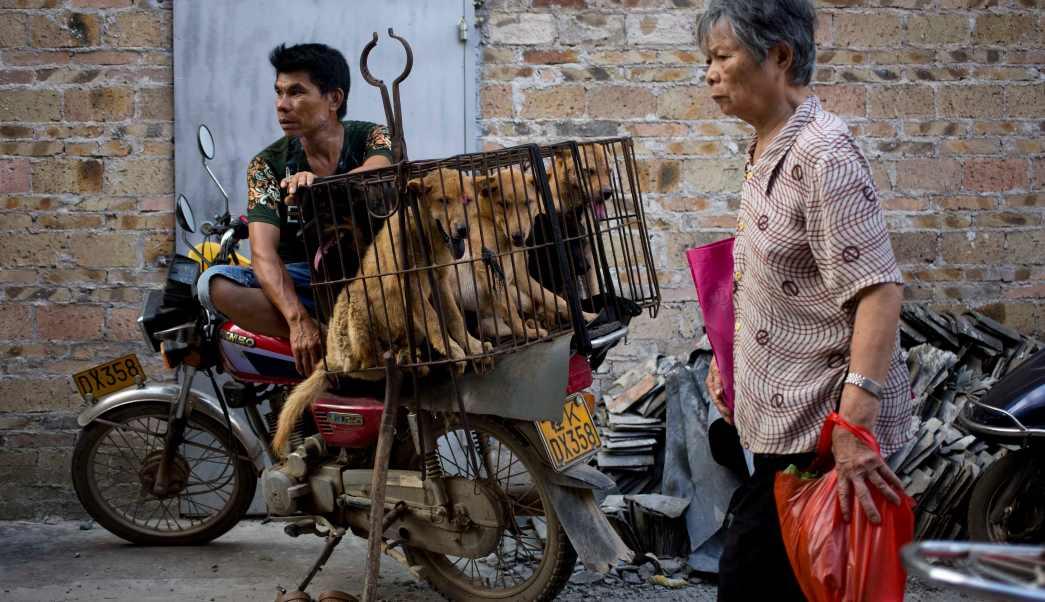 Los perros a ser sacrificados para el festival, son usualmente maltratados