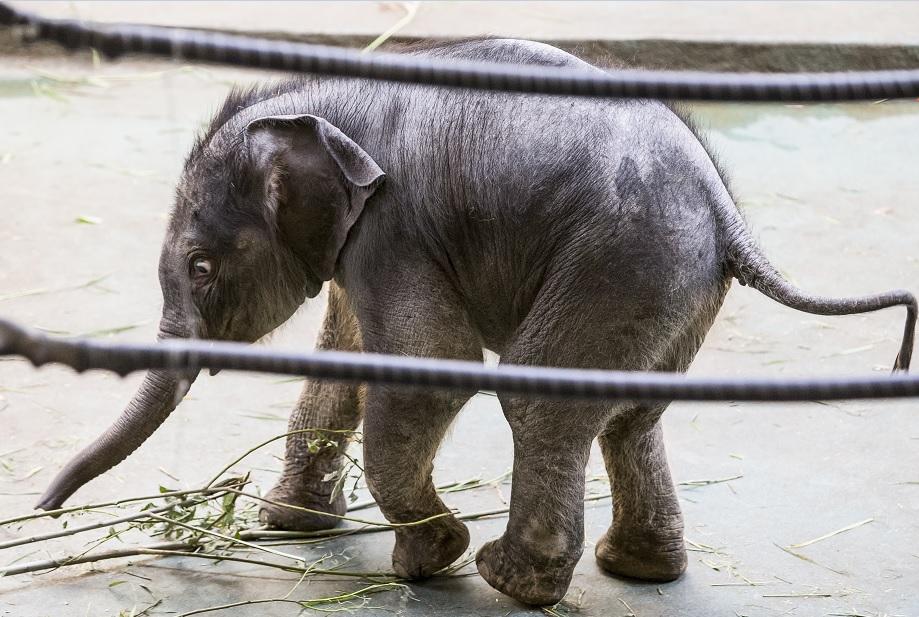 El elefante recién nacido Filimon camina en el pabellón del Zoológico de Moscú (AP)