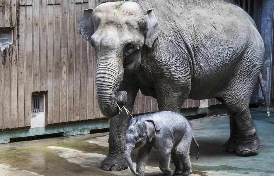 """""""Filimon"""", el elefante bebé fue presentado en el Zoológico de Moscú (AP)"""