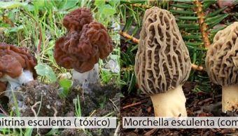 Dos especies de hongos en oaxaca, venenoso y comestible