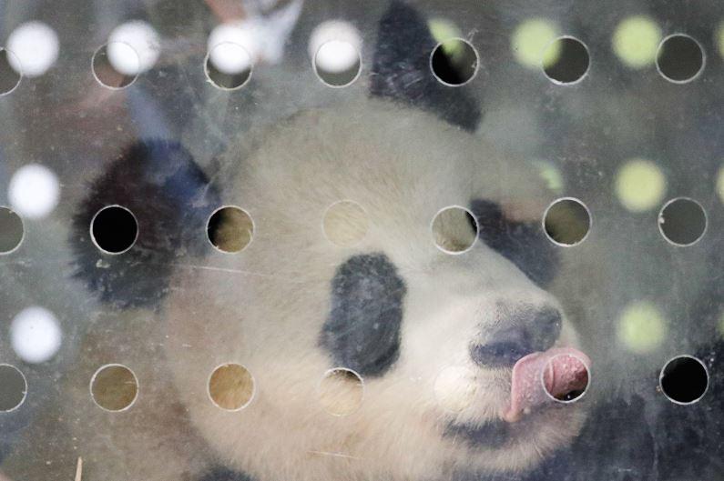 Pandas gigantes, Aterrizan, Berlín, Alemania, China, Zoológico, Vuelo, Pandas, Aeropuerto Schoenefeld, Bambú