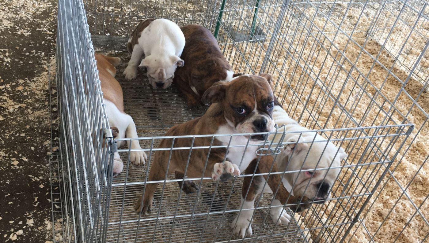 Organizadores e involucrados en pelea de perros serán sancionados en México. (Notimex)