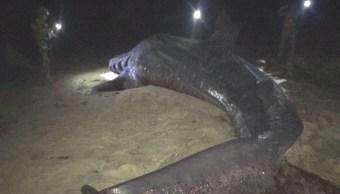 Profepa atiende varamiento de tiburón ballena muerto