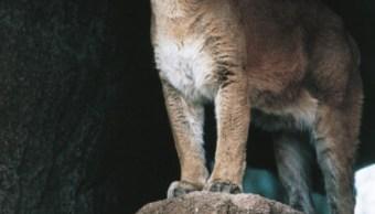Autoridades en Hidalgo aseguran que a familias afectadas se les indemnizará por la pérdida de ganado debido a un puma suelto (Getty Images/archivo)