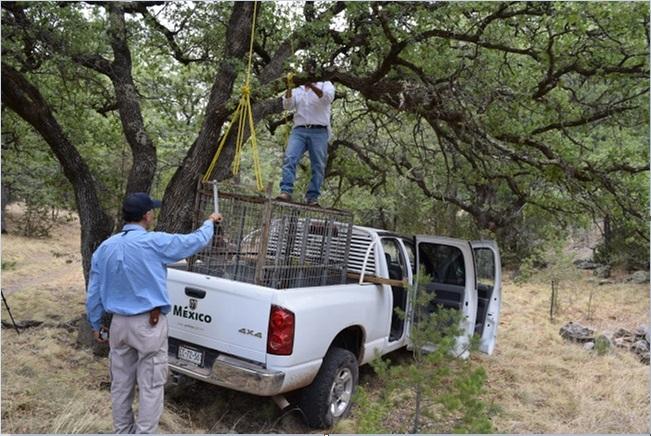 Personal de la profepa rescata a un puma en chihuahua