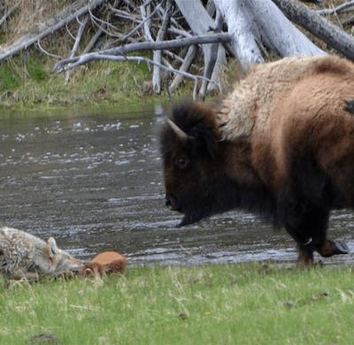 Así es como una bisonte salva a su cría del ataque de un coyote