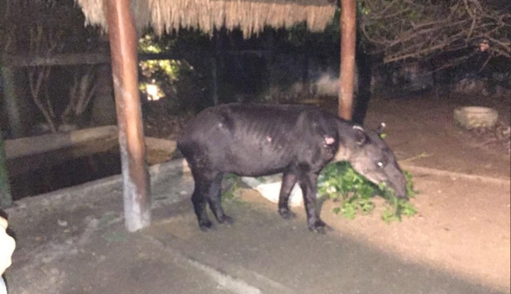 Rescatan, Tapir, Calakmul, Campeche, Medio ambiente