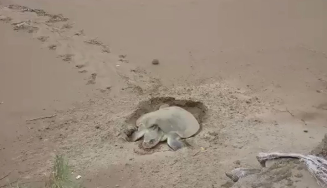 Tortuga lora llega acoatzacoalcos