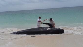 Ballena Piloto muerta en playa de Quintana Roo