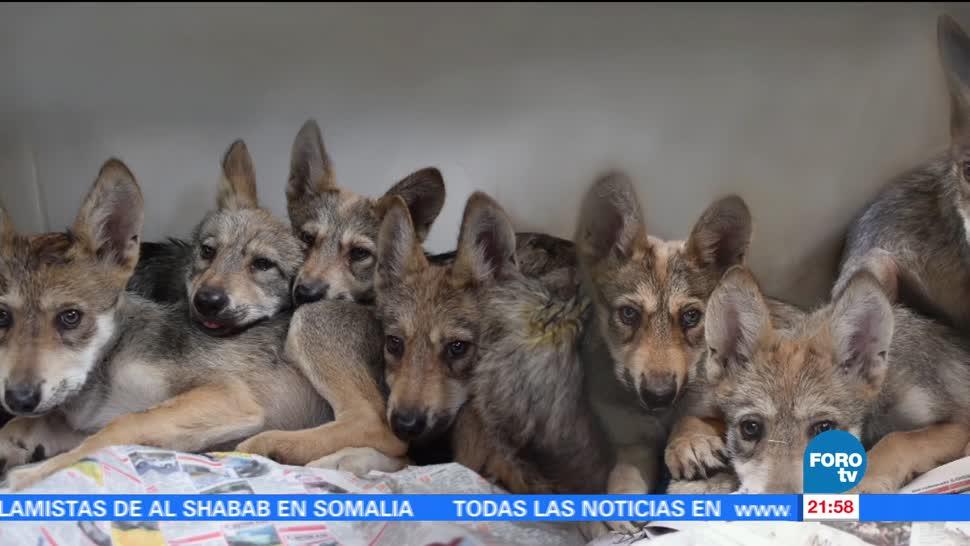 Nacen, siete crías, lobo, mexicano, zoológico, los coyotes