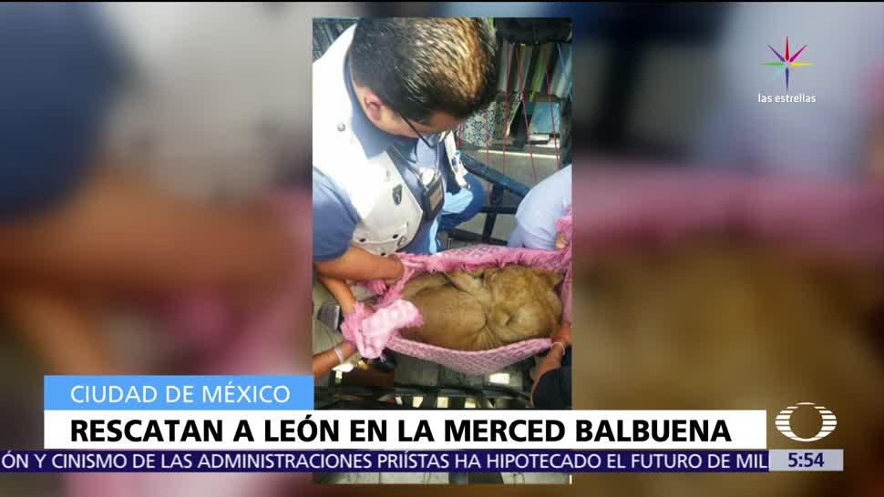 Rescatan, cachorro de león, CDMX, colonia Merced Balbuena