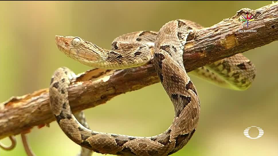 noticias, forotv, Serpiente, venenosa, muerde a indígena, Chiapas