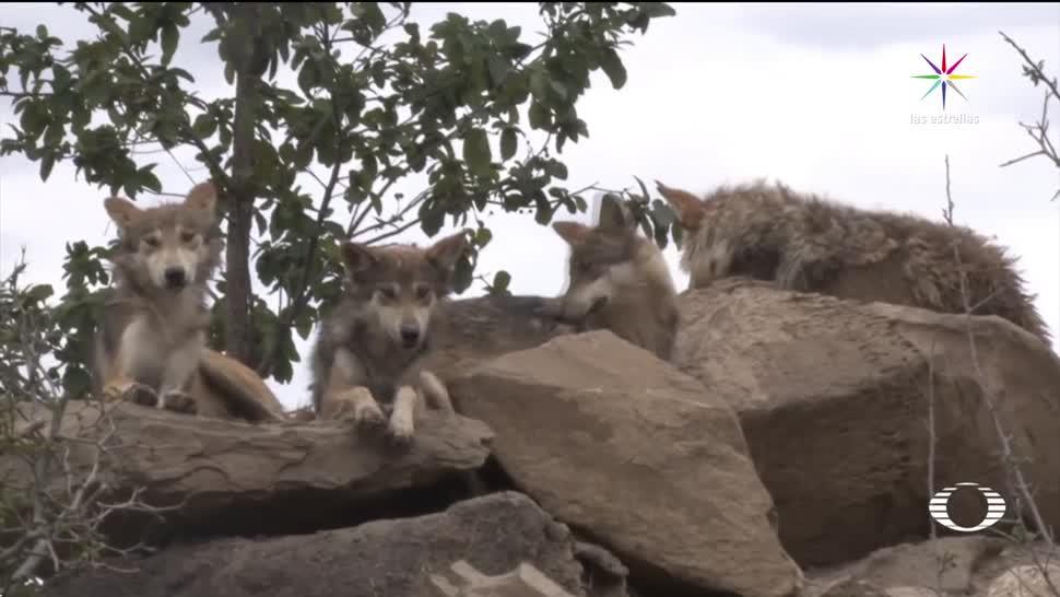 Nacen, 18 crías, lobo, mexicano, México, cautiverio lobos