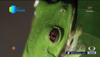 Mundo, Sorprendente, Costa, Rica, Ranas, Anfibios, Por El Planeta