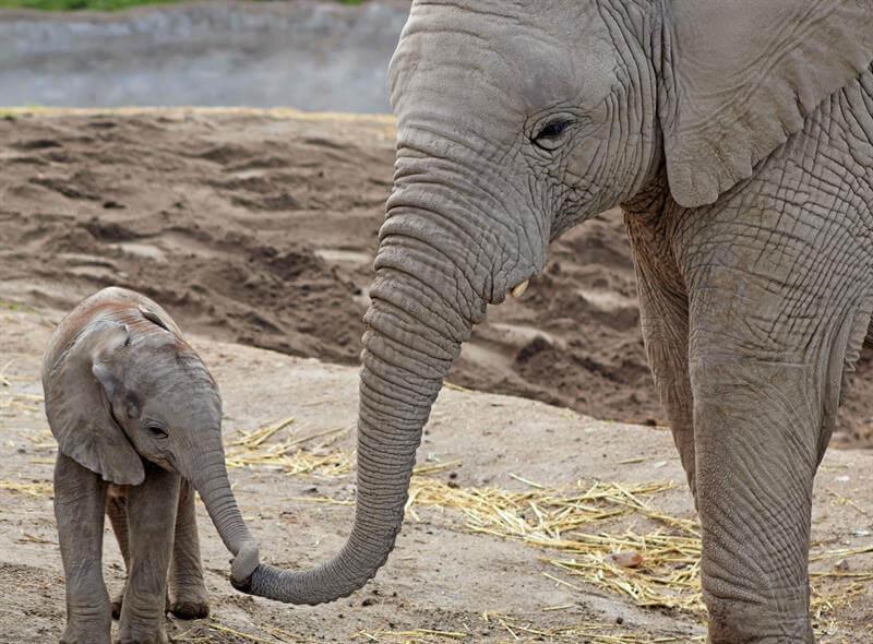 Elefante, Elefante Africano, Puebla, Medio Ambiente, Africam Safari,