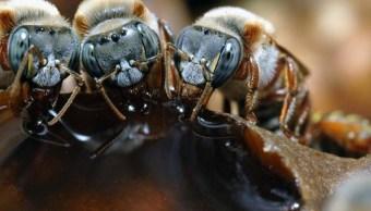 En riesgo producción de abeja melipona en Campeche. (Conabio Archivo)