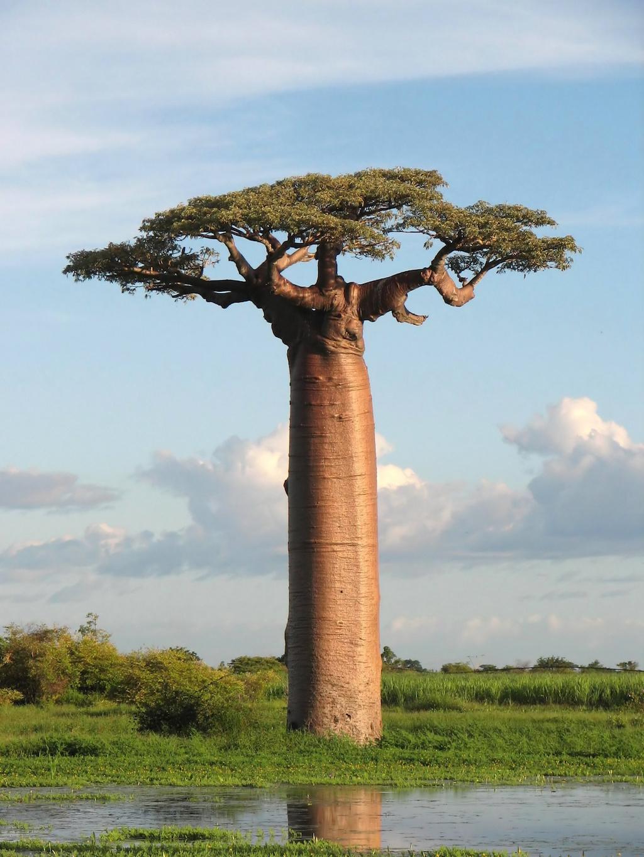 árboles, cipres, ahuehuete, eucalipto