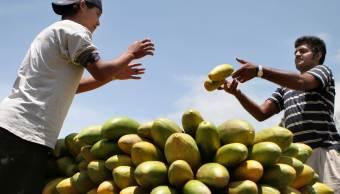 Agricultores acomodan papayas en un camión