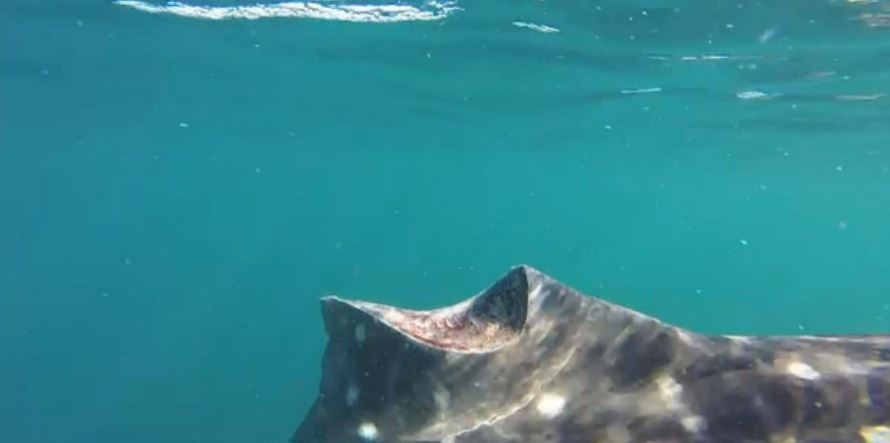 Aleta de tiburón ballena cortada por embarcación durante avistamiento