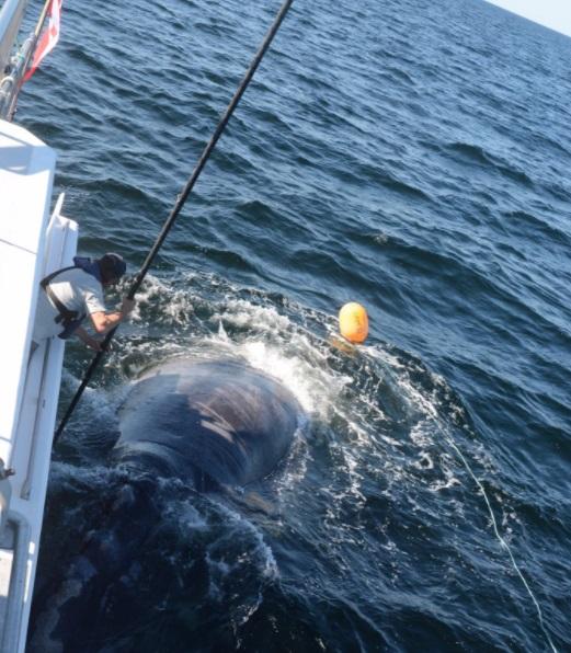 Joe Howlett, un rescatista canadiense trataba de salvar a una ballena enredada (Twitter:@DFO_Gulf)