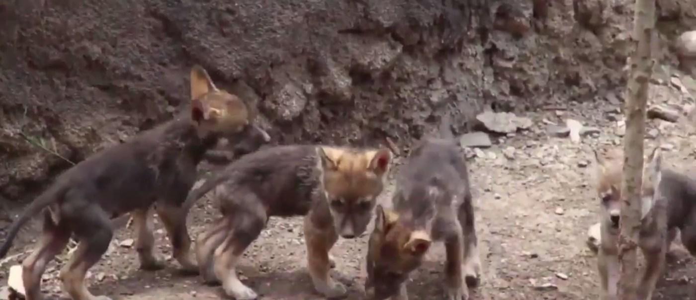 Cachorros de lobo mexicano juegan en el museo