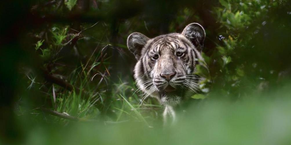 India: Encuentran al tigre más pálido hallado hasta ahora