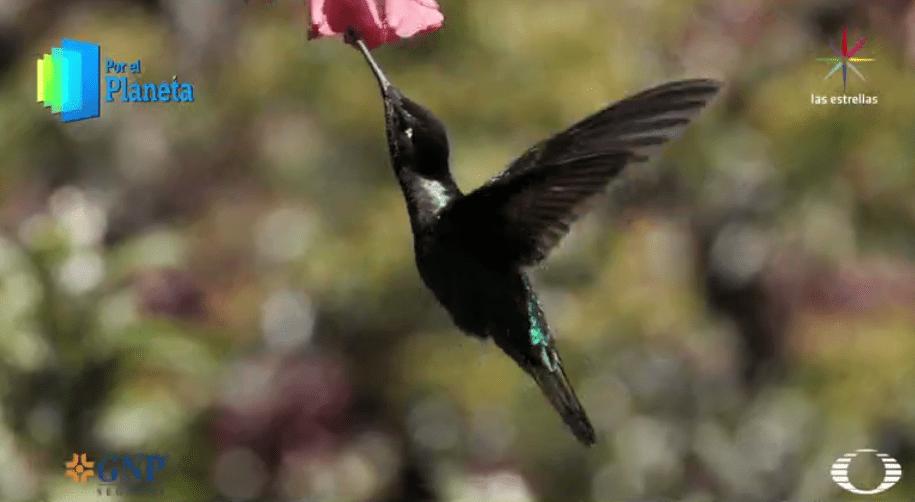 Colibrí de Costa Rica se alimenta de una flor