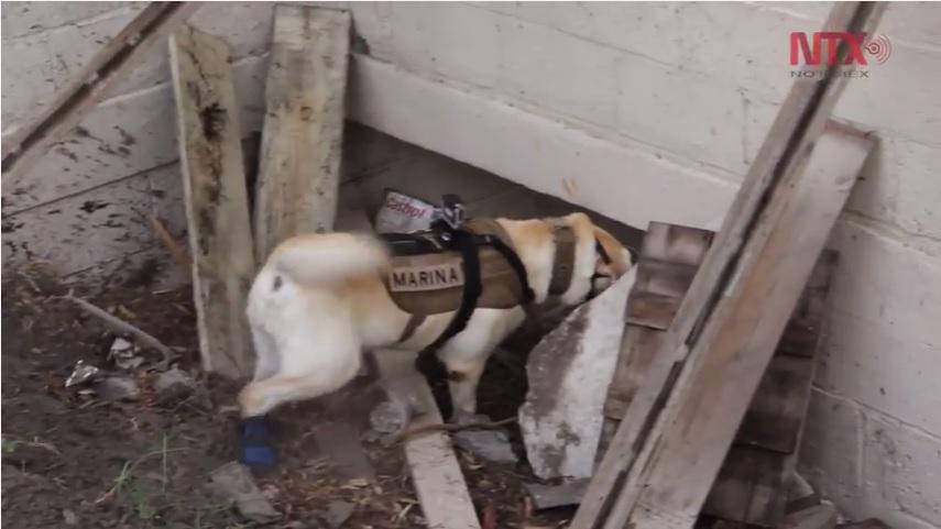 Frida es una labrador que ha logrado rescatar a 52 personas