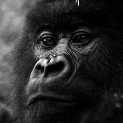 Foto de gorilas que posan para selfie se vuelve viral