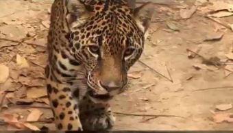 Jaguares, Campeche, Agua, Reserva, Calakmul, Sequia, Biosfera