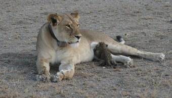 """La leona conocida como """"Nosikitok"""" amamanta a un cachorro de leopardo (Reuters)"""