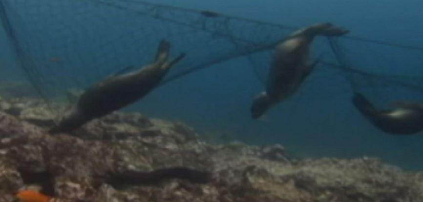 Lobos marinos muertos por malla de pesca en Baja California Sur