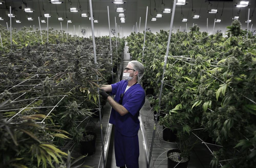 venta de marihuana, marihuana legal, marihuana, mercado, cannabis, mota