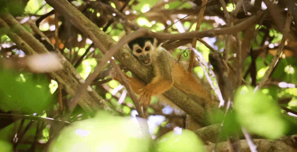 Mono capuchino de Costa Rica en un árbol